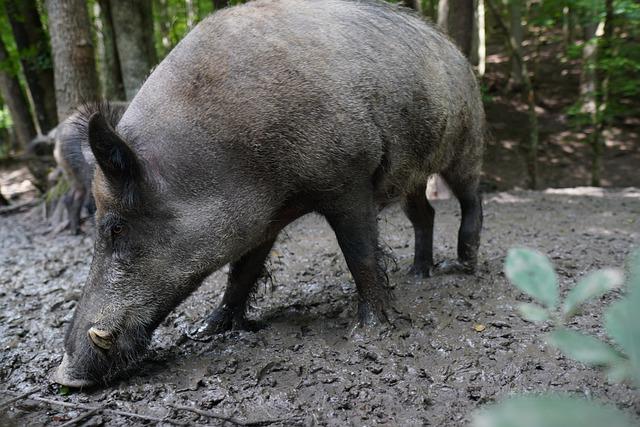 Dziki w Polsce – jaka jest ich populacja?